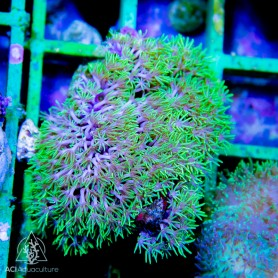 Pachyclavularia sp - Star Polyps NEON Green  (Indo-Pacific) S/M