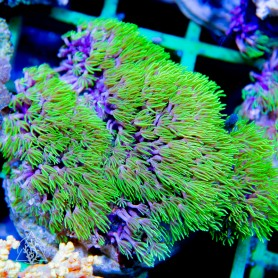 Pachyclavularia sp - Star Polyps NEON Green (Indo-Pacific) L