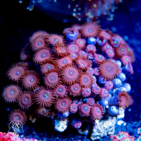 Zoanthid sp. - RPE (Indo-Pacific) L