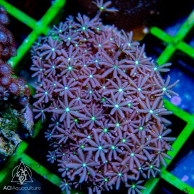 Cornularia - Daisy Polyps Green Mouth M