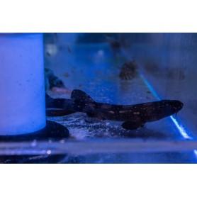 White Spot Bamboo 'Captive Bred' Shark Pup