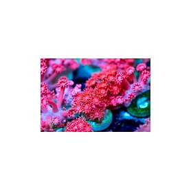 Goniopora -Red
