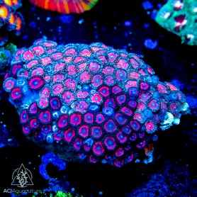 Long Stalk Polyp ULTRA Color Palythoa (Indo-Pacific) M