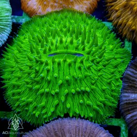 Fungia/Cycloseris - Neon Green M/L (Indo-Pacific)