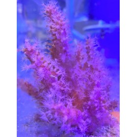 Alcyonium  - Red Chilli Coral (Indo-Pacific) M
