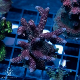 ACI Oversized Acro frags 3-6 months from the wild