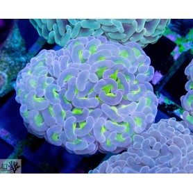 Euphyllia ancora -Wall Hammer Green w. Purple Tips