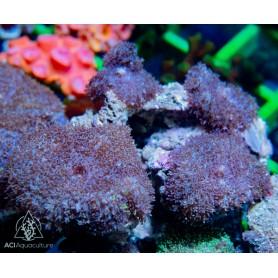 Rhodactis sp - Purple Hairy Mushroom Rock