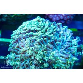 Goniopora sp.  - Encrusting NEON Green (Indo-Pacific) L