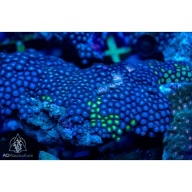 Zoanthid spp. Blue Dominant (Indo-Pacific)