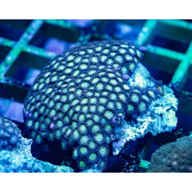 Zoanthid spp. Green Dominant (Indo-Pacific)