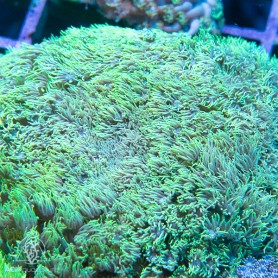 Goniopora sp. - Green Neon Shaggy XL