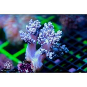 Nepthea sp.  - Purple Tree M