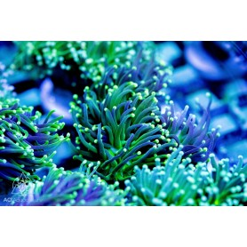 Euphyllia glabrescens - Green Tip torch