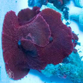 Discosoma - Mushroom Rock Red NEON Rock (Indo-Pacific) M