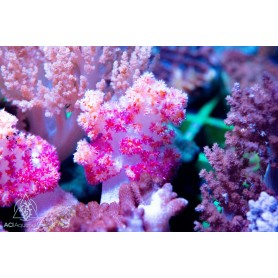 Dendronephthya - Carnation Spiky Tree (Indo-Pacific) M/L