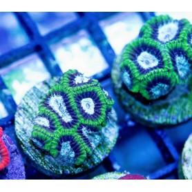 Micro amakunesis - Blue/Green