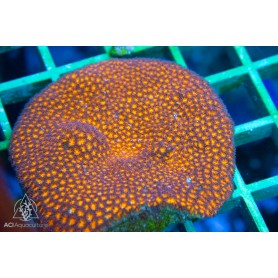 Leptastrea sp. - Orange M (Indo-Pacific)
