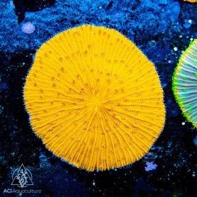 Fungia/Cycloseris - Orange M/L (Indo-Pacific)