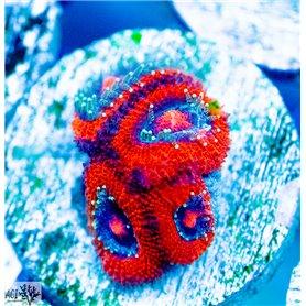 Micro amakunesis - Red