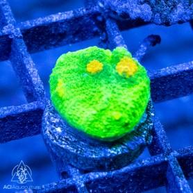 ACI Plutonium Chalice