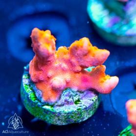 ACI Red/Orange Setosa Montipora