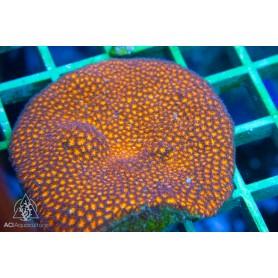 Leptastrea sp. - Orange