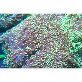 Euphyllia divisa - Wall Frogspawn Neon Green Tip Lg