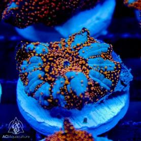 Discosoma -Interstellar Mushrooms-PER POLYP