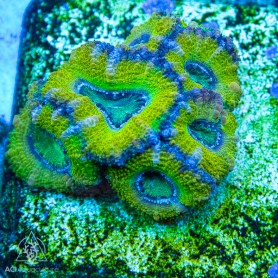 Acan lordehowesis - Mini Colony - Ultra