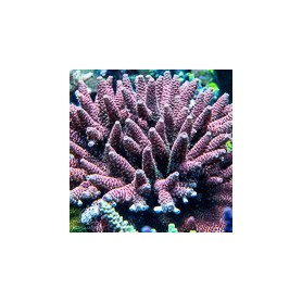 ACI 'Mohican Rose' millepora