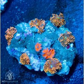Ricordea Rock - Orange
