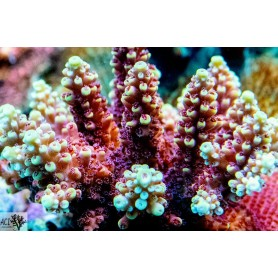 ACIs Light Bright Acropora