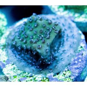 ACI Wintergreen Montipora