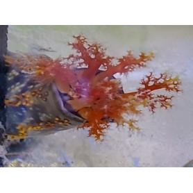 Sea Apple Cucumber