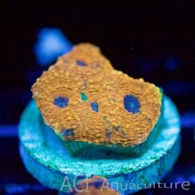 Acan echinata - Orange