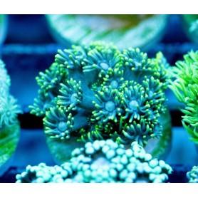 Goniopora - Green