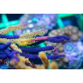 Gorgonian - Purple Sea Whip (Indo-Pacific)