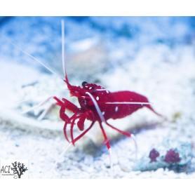Sri Lanka Red Fire/Blood Shrimp