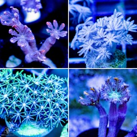LPS, SPS, SOFTIES Assorted- Frag Packs