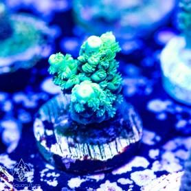 Acropora Sp - B grade green super healthy