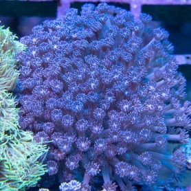 Goniopora sp. - Purple Encrusting (Aus) L