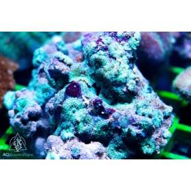 Discosoma - Green NEON Rock (Indo-Pacific) XXL