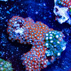 Zoanthid spp. Orange Dominant (Indo-Pacific)