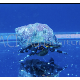 Hermit Crab Electric Blue Knuckle