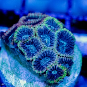 Favites - Green-Blue Molted