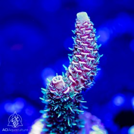 ACI 'Fuzzy Navel' Acropora millepora