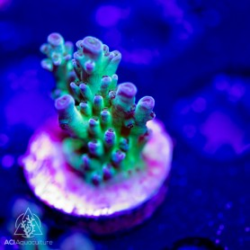 ACI 'Violet Tips' Acropora sp.