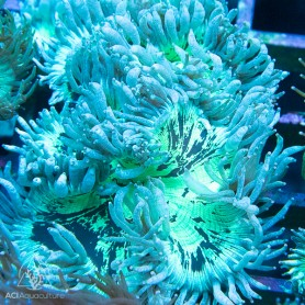 Catalaphyllia Jardinei - Cone Ultra