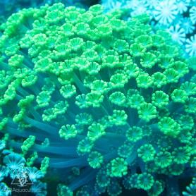 Alveopora - Ultra Green